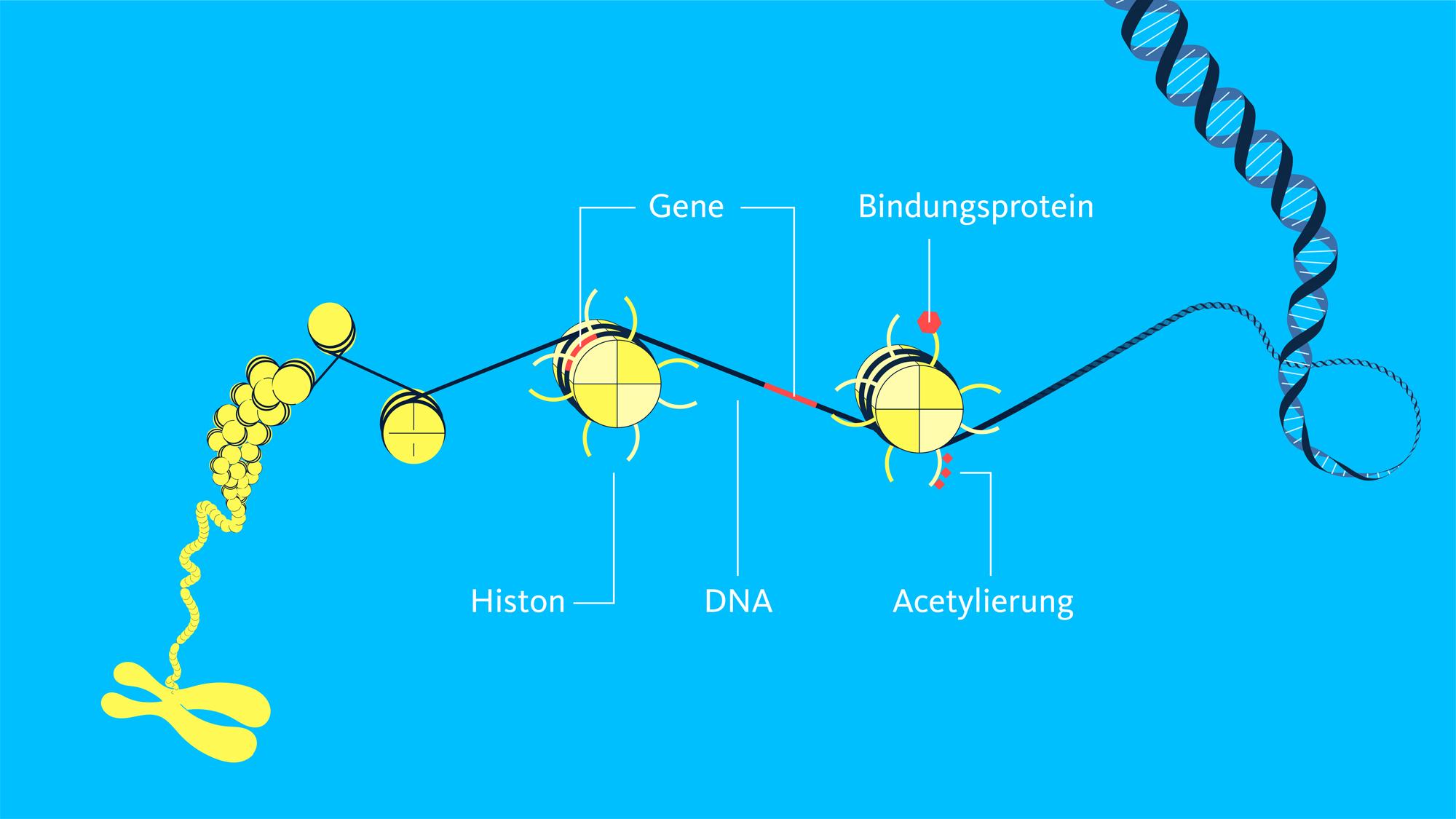 Eine menschliche Zelle enthält einen DNA-Strang von zwei Metern Länge. Dieser ist mehrfach komprimiert, etwa indem er um sogenannte Histone gewickelt ist und dieser Chromatin-Komplex ebenfalls wieder platzsparende Strukturen einnimmt. Man kann sich ein Chromosom als ein sehr dichtes DNA-Knäuel vorstellen. Die Gene auf der DNA sind zunächst um ein Histon gewickelt und nicht zugänglich. Durch Regulierungsfaktoren verändert sich aber die Struktur und der Genabschnitt wird freigelegt. In welchem Zustand die DNA vorliegt, entscheiden Prozesse wie die Acetylierung des Histonschwanzes oder das Anlagern von Bindungsproteinen. Durch Ablösen oder Methylierung sind die Schritte reversibel.