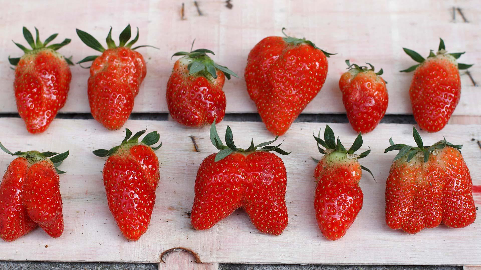 Erdbeeren in verschiedenen Formen und Größen