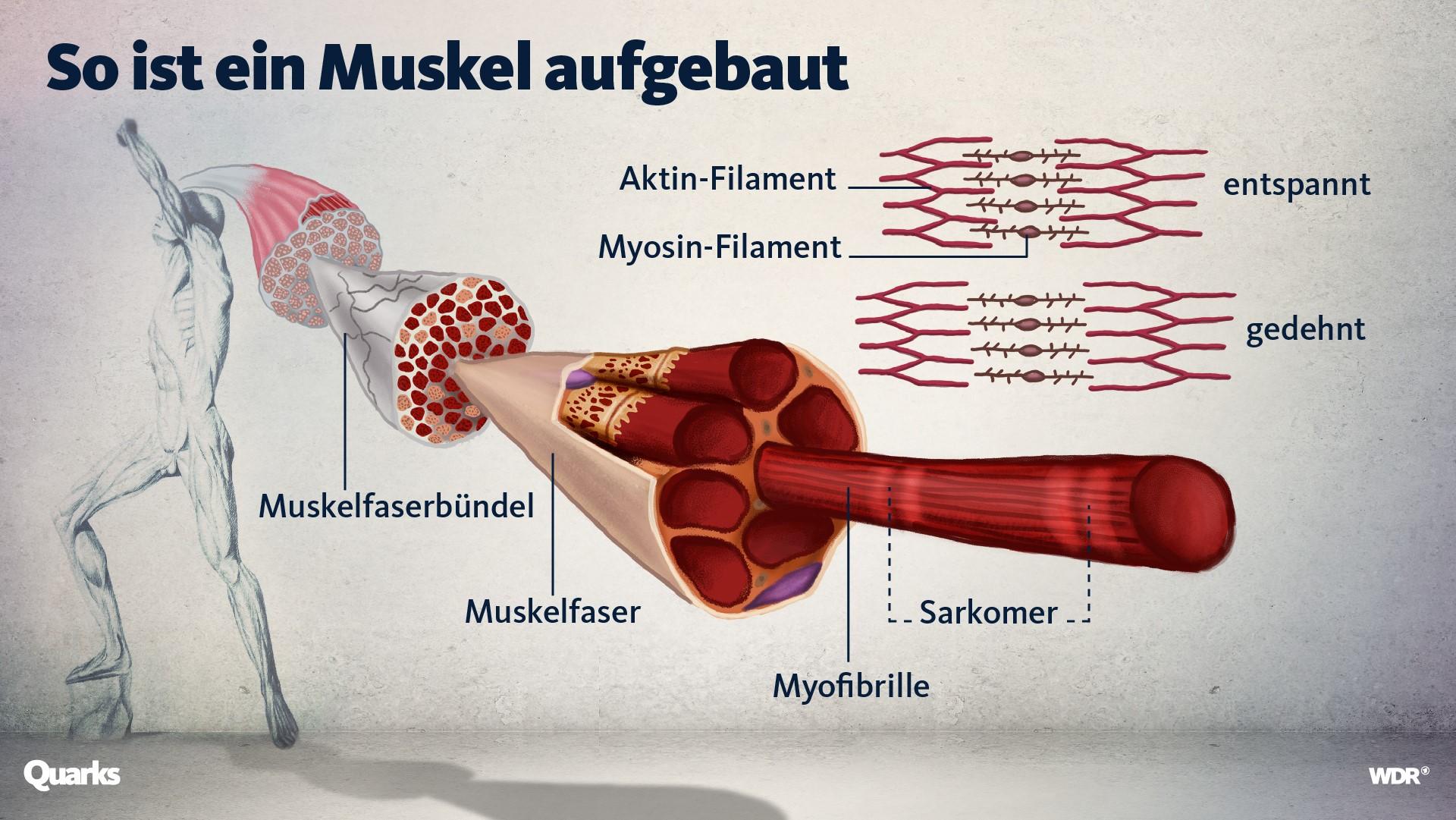 Grafik, die den Aufbau eines Muskels zeigt