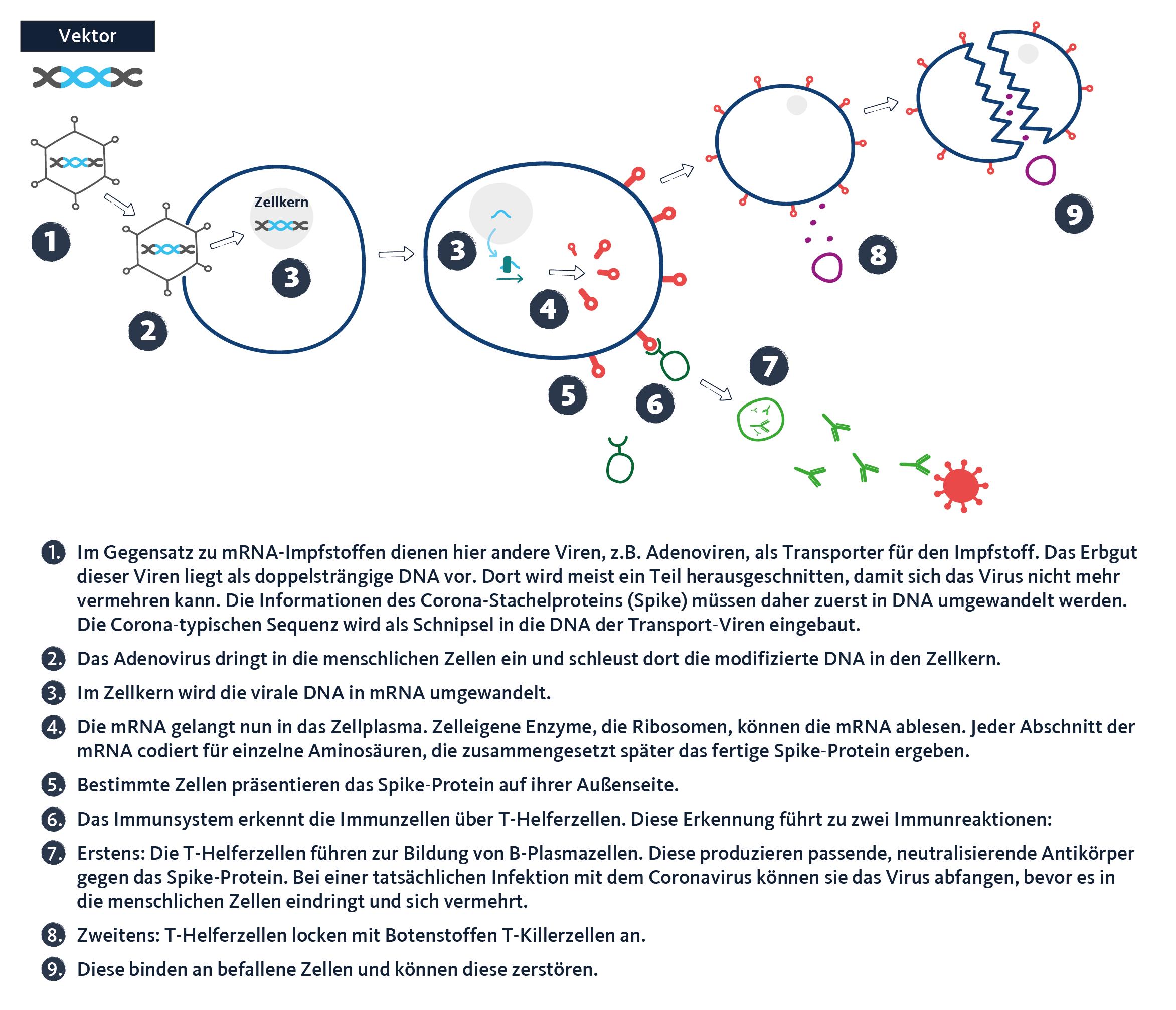 Grafik: So funktionieren Vektorimpfstoffe. Quarks/WDR