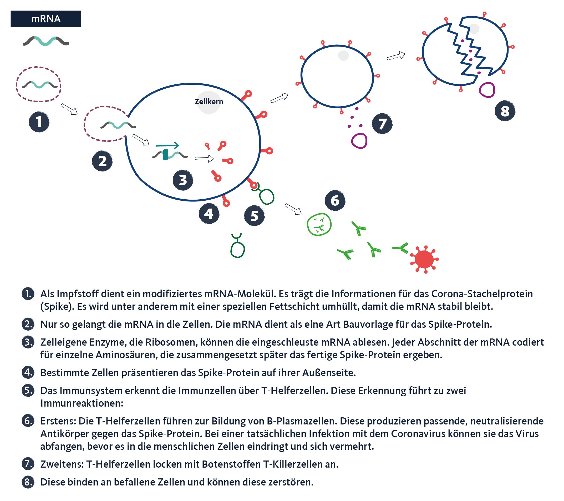 Grafik: So funktionieren mRNA-Impfstoffe. WDR/quarks