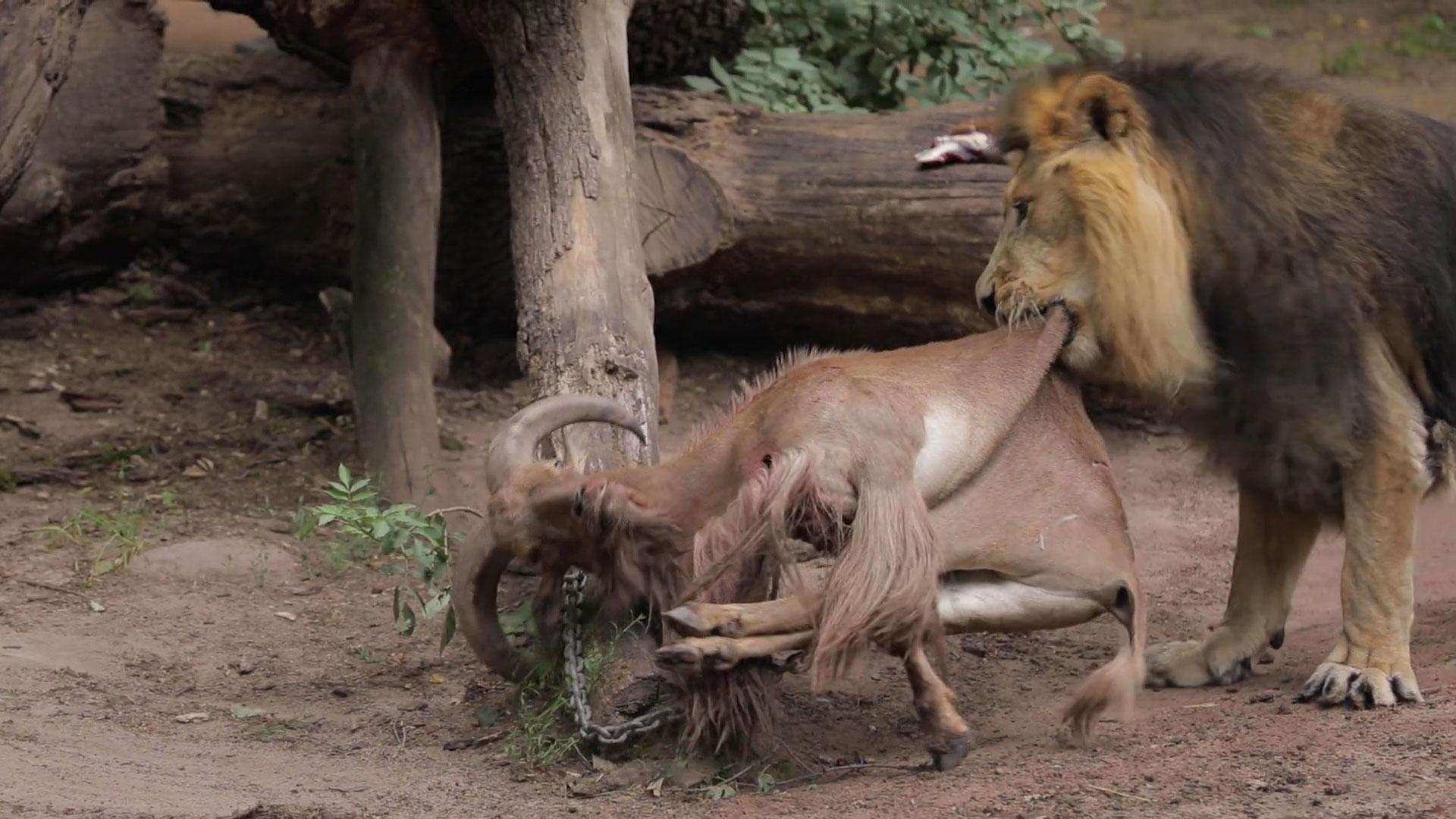 Löwe frisst Mähnenschaf im Nürnberger Zoo