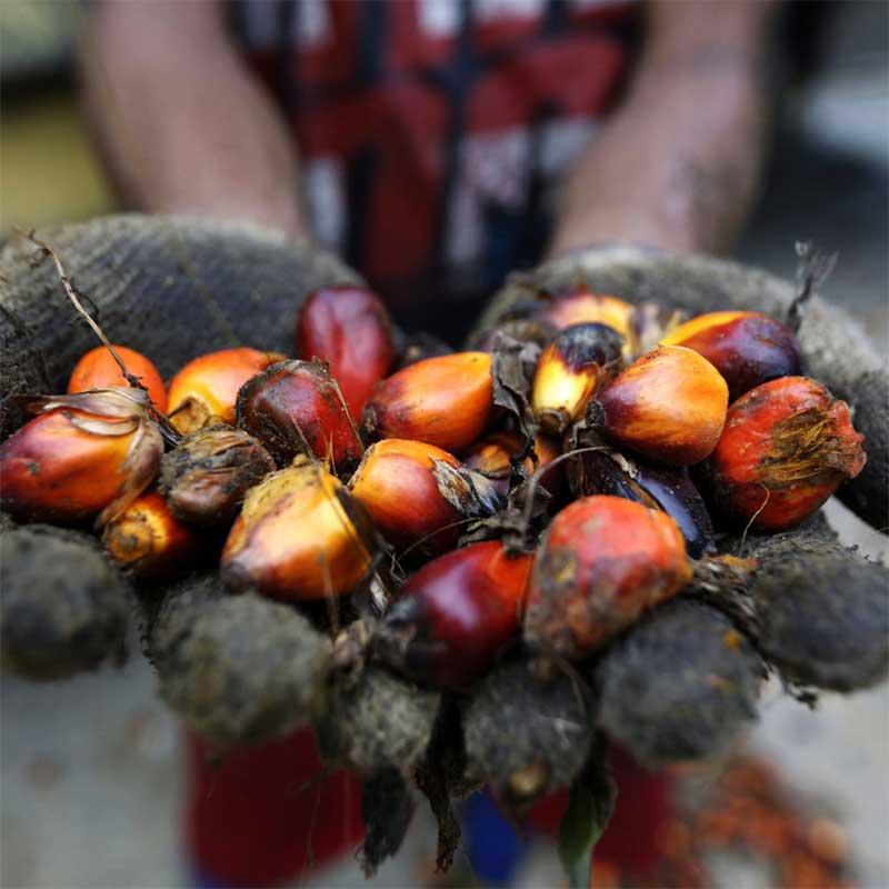 Ein indonesischer Palmöl-Farmer hält die Früchte einer Ölpalme in den Händen.