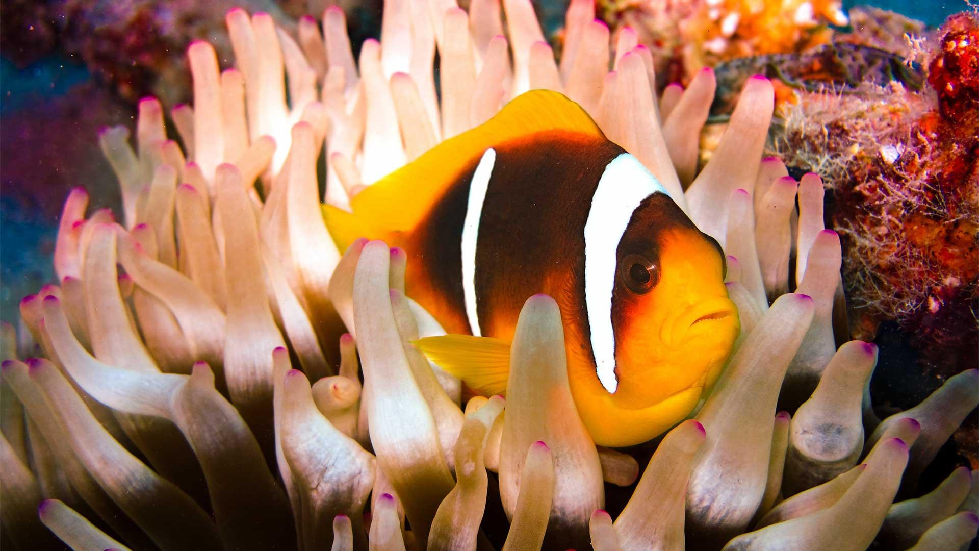 Ein kleiner, bunter Fisch liegt in einer Koralle