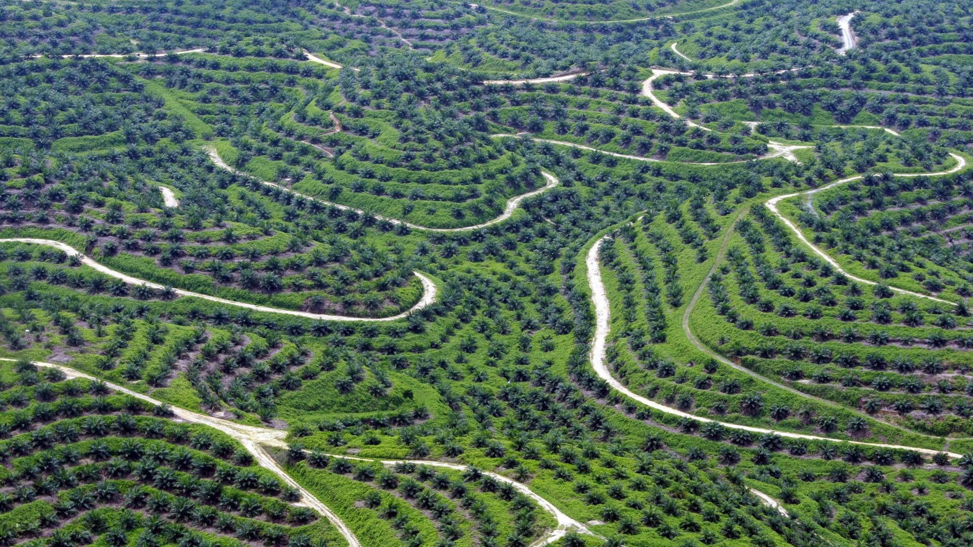 Palmöl-Plantage in Indonesien